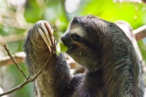 baby-sloth-eating-gif-mc-drei-finger-faultier